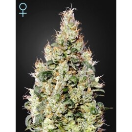 Exodus Cheese Auto CBD - GreenHouse seeds femminizzati
