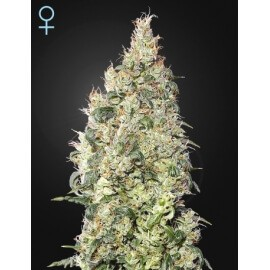 Great White Shark CBD - GreenHouse Seeds femminizzati