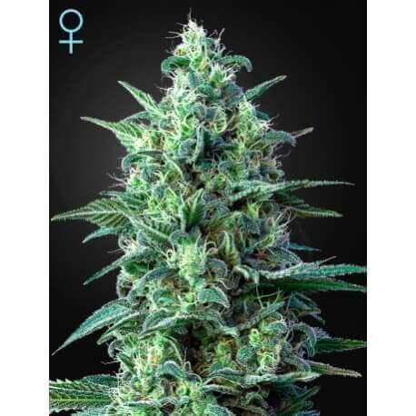 White Widow Auto CBD - GreenHouse Seeds femminizzati