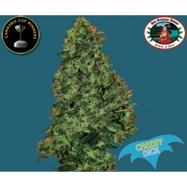 Cheesy Dick - Big Buddha Seeds femminizzati