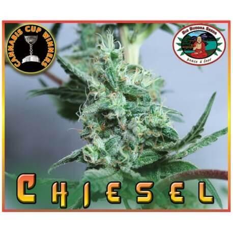 Chiesel - Big Buddha Seeds femminizzati