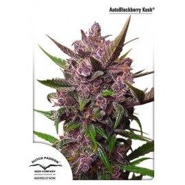AutoBlackberry Kush - Dutch Passion femminizzati