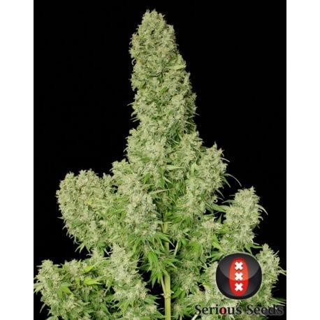 White Russian - Serious Seeds femminizzati
