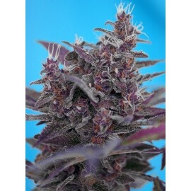 Black Cream Auto - Sweet Seeds femminizzati