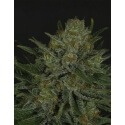 Double Glock - Ripper Seeds femminizzati