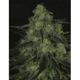 Black Valley - Ripper Seeds femminizzati