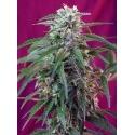 Green Poison Auto - Sweet Seeds femminizzati