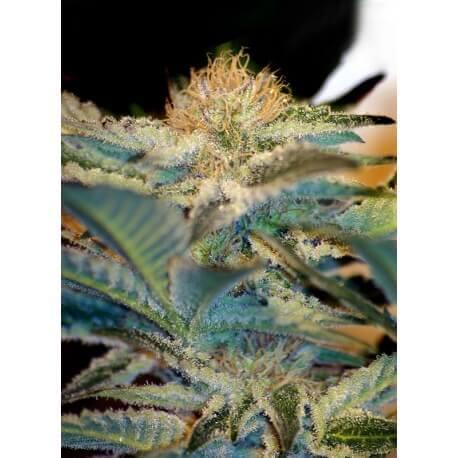Mohan Ram - Sweet Seeds femminizzati