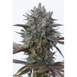 Purple Orange CBD - Dinafem femminizzati