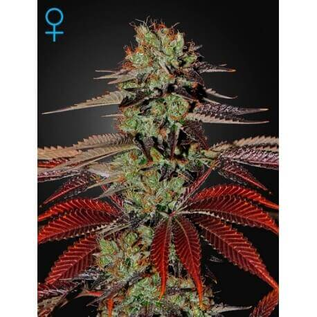 King's Kush Auto - GreenHouse Seeds femminizzati