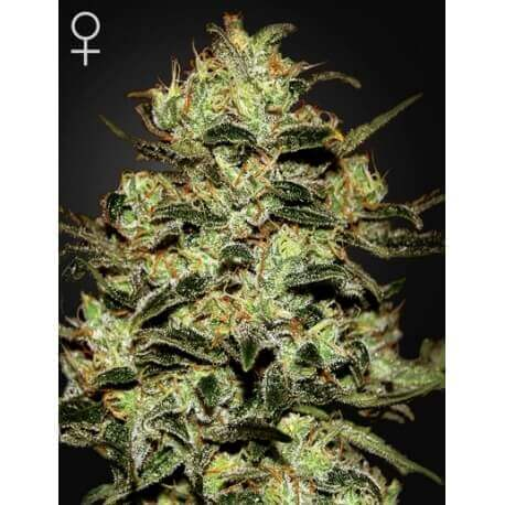 Moby Dick - GreenHouse Seeds femminizzati