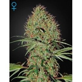Super Bud Auto - GreenHouse Seeds femminizzati