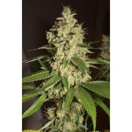 Raspeberry Diesel - Humboldt Seed Organization femminizzati