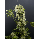 Spoetnik 1 - Paradise Seeds femminizzati
