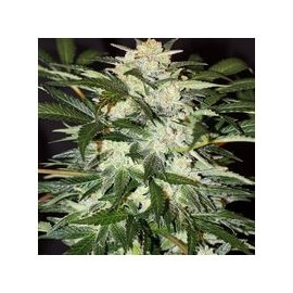 Quick Mass - Exotic Seeds femminizzati