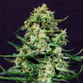 Sir Jack Auto Exotic Seeds femminizzati