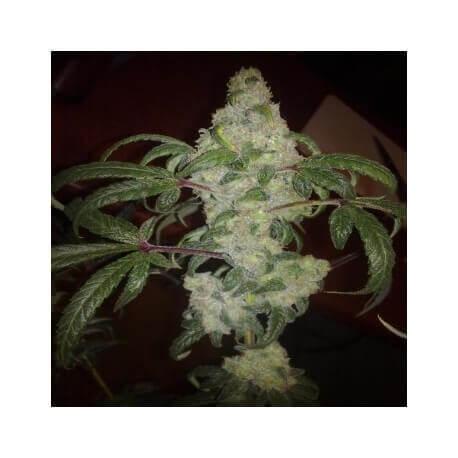 Nebula - Paradise Seeds femminizzati
