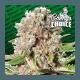 Mendocino Skunk - Paradise Seeds femminizzati