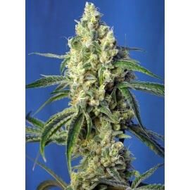 Green Poison CBD - Sweet Seeds femminizzati