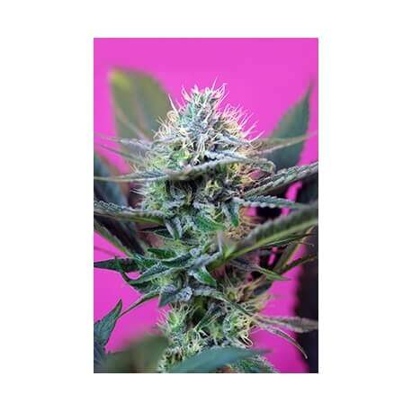 + Speed Auto - Sweet Seeds femminizzati