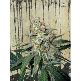 Carnival - Ministry of Cannabis femminizzati
