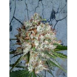 Big Bud XXL - Ministry of Cannabis femminizzati