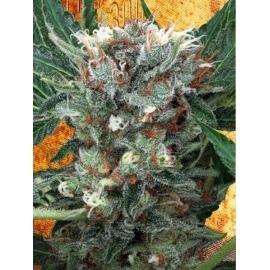 Zensation - Ministry of Cannabis femminizzati