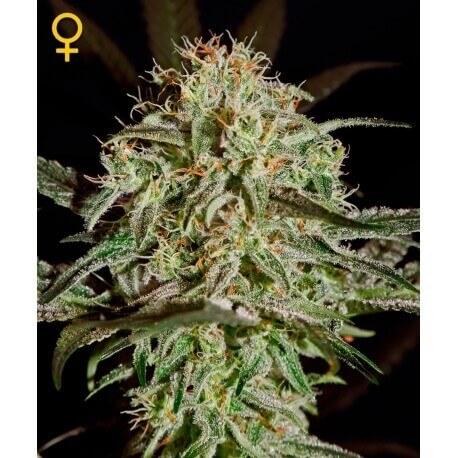 A.M.S. - GreenHouse Seeds femminizzati