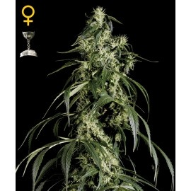 Arjan's Haze 1 - GreenHouse Seeds femminizzati