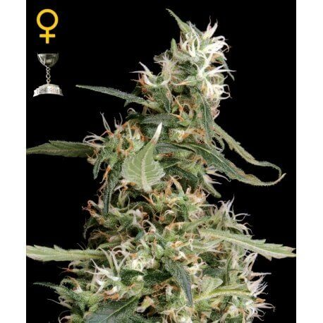 Arjan's Ultra Haze 1 - GreenHouse Seeds femminizzati