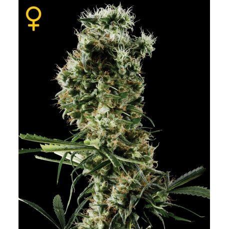 Arjan's Haze 2 - GreenHouse Seeds femminizzati