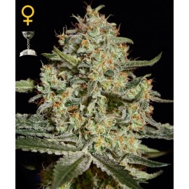 Big Bang - GreenHouse Seeds femminizzati