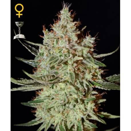 K-Train - GreenHouse Seeds femminizzati