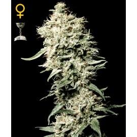 White Rhino - GreenHouse Seeds femminizzati