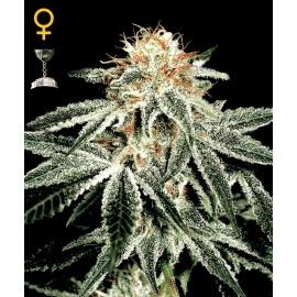 White Widow - GreenHouse Seeds femminizzati
