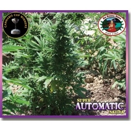 Super Automatic Sativa - Big Buddha Seeds femminizzati