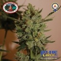 Blue Cheese Auto - Big Buddha Seeds femminizzati