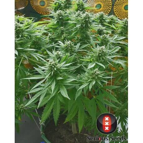 Biddy Early - Serious Seed - femminizzati Serious Seeds €35,00