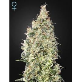 Great White Shark CBD - GreenHouse Seeds femminizzati