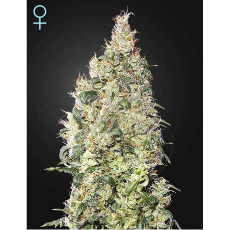 Great White Shark CBD - GreenHouse Seeds femminizzati GreenHouse Seeds €39,00