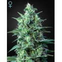 White Widow Auto CBD - GreenHouse Seeds femminizzati