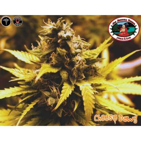 Cheese Dawg - Big Buddha Seeds femminizzati Big Buddha Seeds €35,00