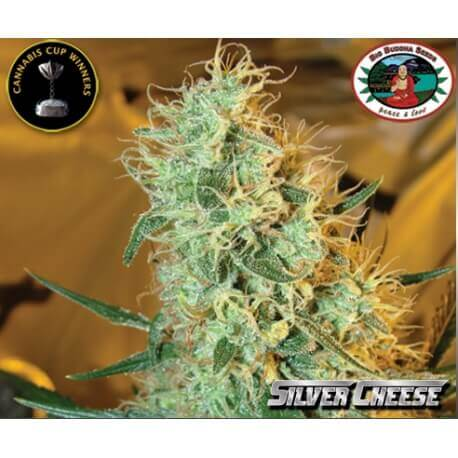 Silver Cheese - Big Buddha Seeds femminizzati Big Buddha Seeds €35,00