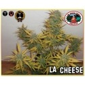 L.A. Cheese - Big Buddha Seeds femminizzati