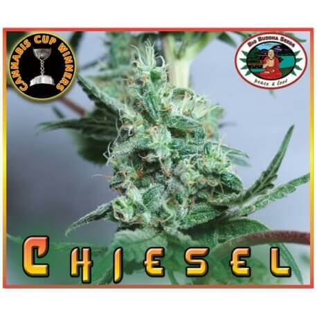 Chiesel - Big Buddha Seeds femminizzati Big Buddha Seeds €35,00
