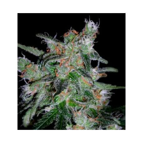 60 Day Lemon Auto - DNA Genetics femminizzati DNA Genetics €32,00