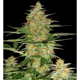 60 Day Wonder Auto - DNA Genetics femminizzati