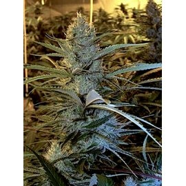 Cannalope Haze - DNA Genetics femminizzati DNA Genetics €40,00