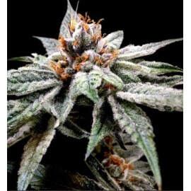 DJ's Gold - DNA Genetics femminizzati DNA Genetics €40,00