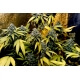 Holy Grail Kush - DNA Genetics femminizzati DNA Genetics €40,00